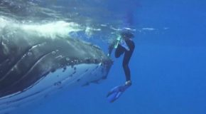 The Incredible Moment A 50,000-Pound Whale Saves A Diver From A Shark