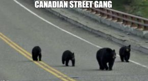 Image tagged in funny,bears,from canada